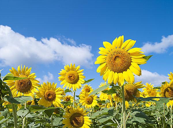 夏空をバックに美しく咲く、元気いっぱいのひまわり.jpg