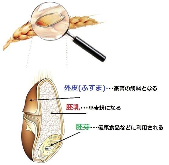 小麦粒の構成01.jpg